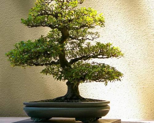 Как вырастить дерево бонсай из семян