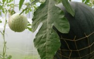 Выращивание арбузов в теплице из поликарбоната