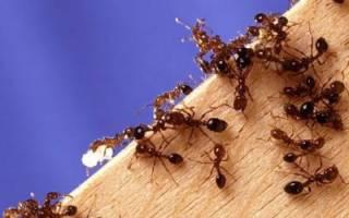 Как вывести муравьев с участка