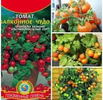Помидоры балконное чудо выращивание дома