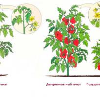 Формирование детерминантных томатов в теплице
