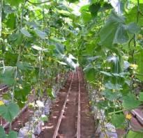 Выращивание огурцов в теплице Краснодарский край