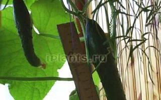 Балконные огурцы