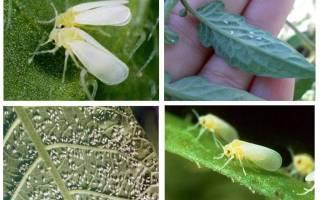 Борьба с белокрылкой на помидорах
